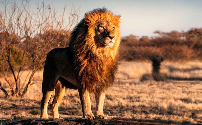 Giải mã giấc mơ thấy sư tử nên đánh con gì? - Giáo dục mầm non